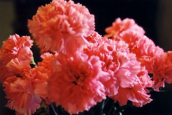 pinkcarn.jpg