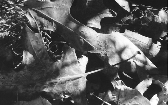 shadow leaves